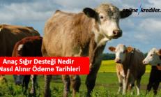 Anaç Sığır Desteği Nedir Nasıl Alınır Ödeme Tarihleri